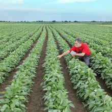 Farmer or agronomist in soy bean field