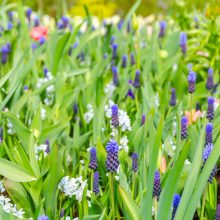 Beautiful purple muscari in Keukenhof Gardens, Netherlands
