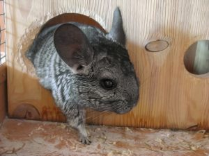 Little gray cute chinchilla looks out from its wooden house, from its mink.