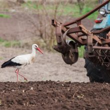 Stork next to the tractor plows the earth