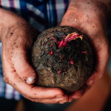 Fresh red beet at hands of farmer