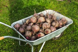 A large pile of beets in a cart on a summer cottage
