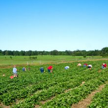 People families picking fresh strawberries on organic berry farm in summer