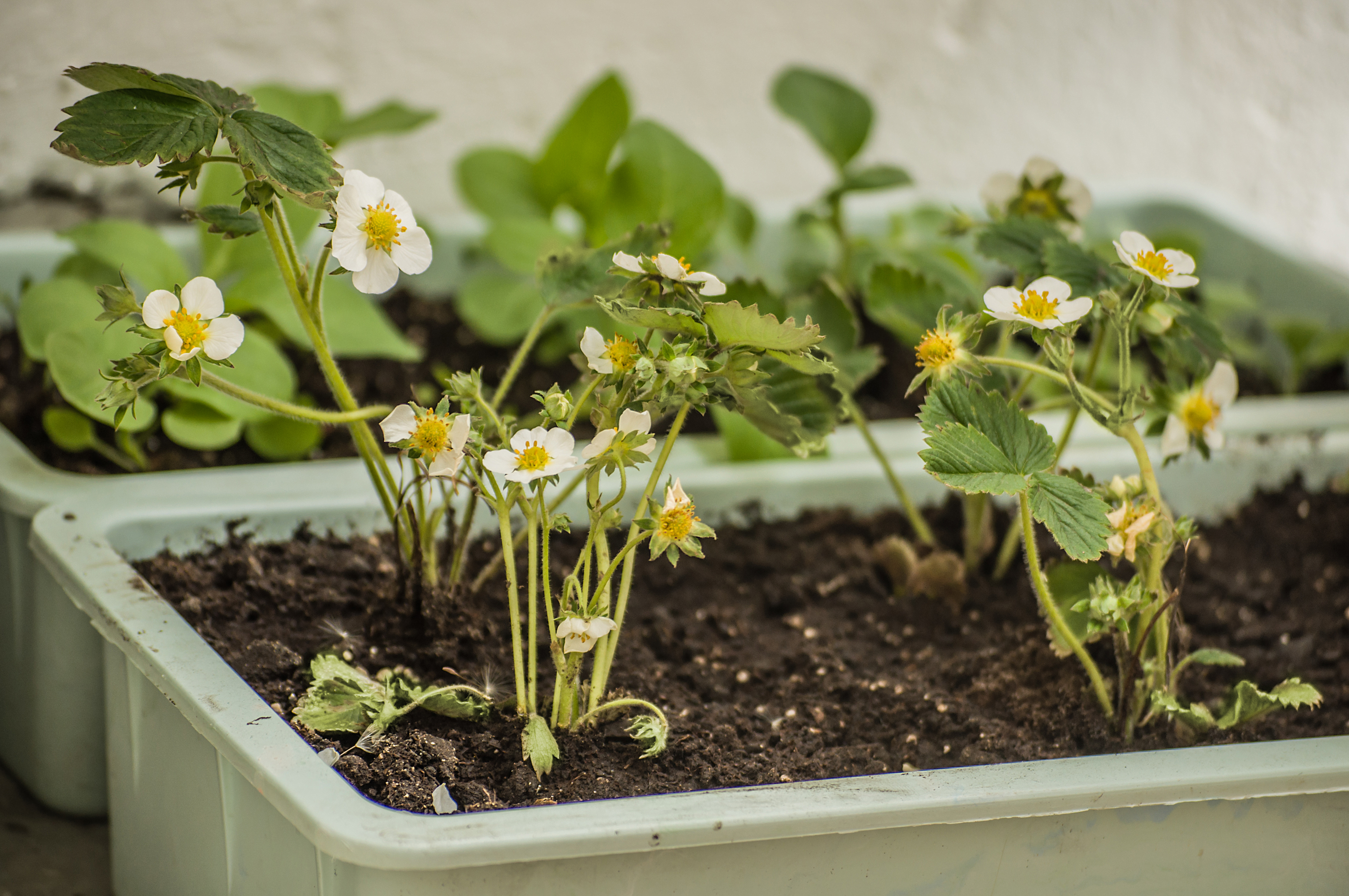 Homemade garden beds of blooming strawberries placed on a balcony.